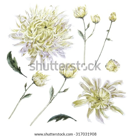 Set of vintage watercolor chrysanthemums leaves branches flowers bud, watercolor illustration isolated on white background - stock photo
