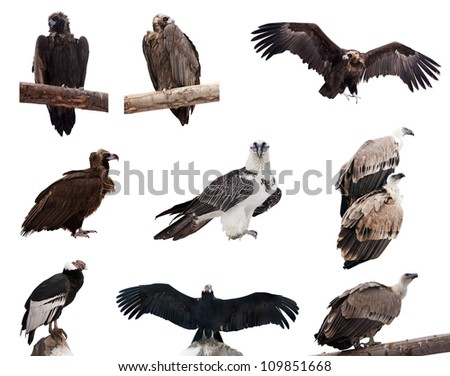 Set of vulture birds. Isolated over white background - stock photo