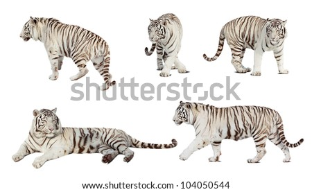 Set of white tiger. Isolated  over white background with shade - stock photo