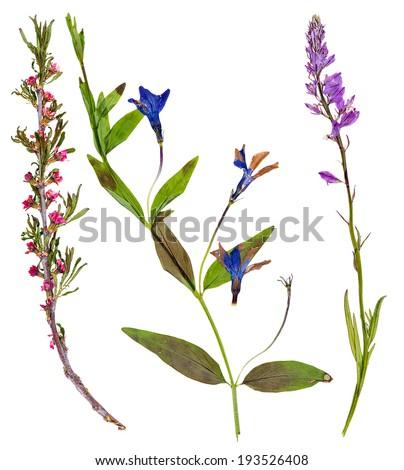 Set of wild flowers pressed, isolated - stock photo