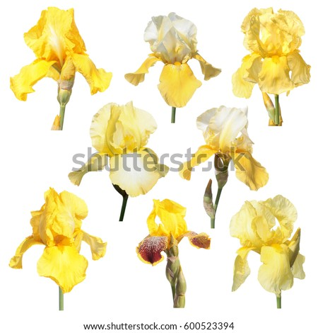 japanese iris flower stock images, royaltyfree images  vectors, Beautiful flower