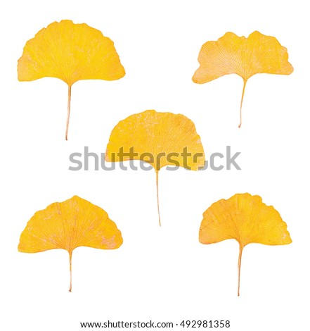 Set of yellow leaves of Ginkgo biloba tree isolated