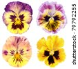 set of yellow  pansy on white background - stock photo