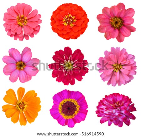 Set of zinnias daisy flowers isolated on white