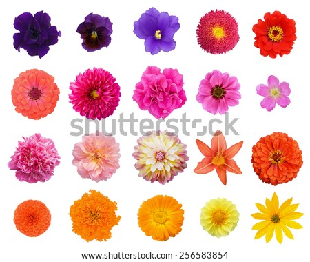 Set twenty flowers: peony, dogrose, violet, lily, calendula, dahlia, aster, petunia, zinnia; marigold isolated on white background - stock photo
