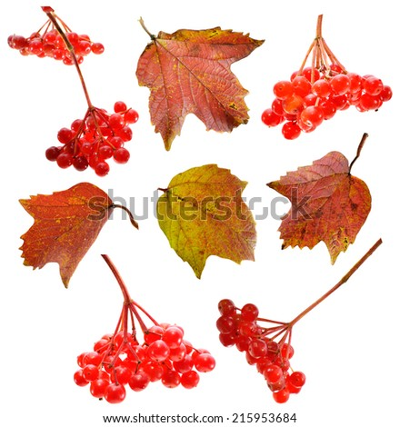 Set with viburnum berries and leaves isolated on white - stock photo