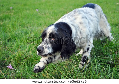 setter dog pointing in the meadow