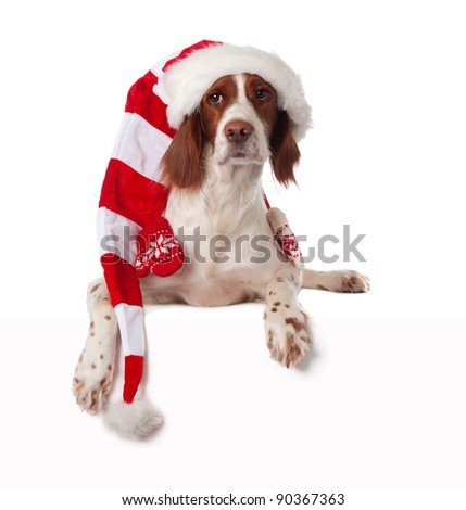 setter lying in santa hat with white blank