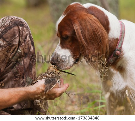 setter sniff snipe in the hands of - stock photo