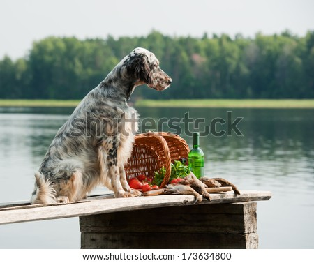 setter with hunting bird and accessories, horizontal, outdoors - stock photo