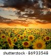 setting sun over the sunflower field - stock photo