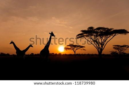 Setting sun with silhouettes of Giraffes and Acacia trees on Safari in Serengeti National Park - stock photo
