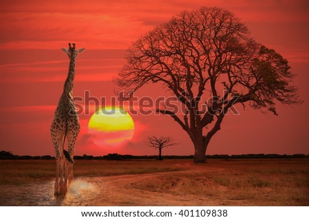 Setting sun with silhouettes of Giraffes and trees on Safari  - stock photo