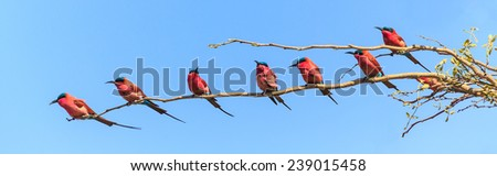 Seven bee eaters sitting on a branch isolated on blue sky - stock photo