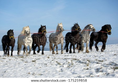 Seven big horses running along a snowy meadow