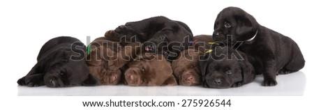 seven labrador retriever puppies resting - stock photo