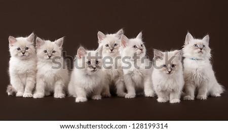 seven small siberian kittens on dark brown background - stock photo