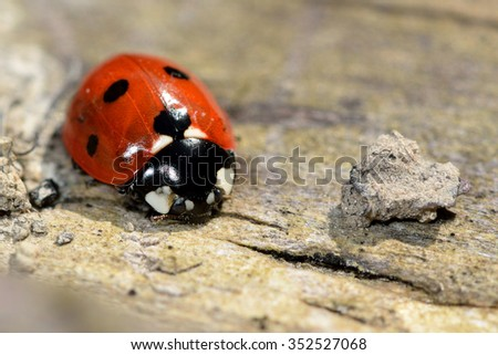Seven-spot ladybird (Coccinella septempunctata) A common ladybird seen from front and above on wood, with striking orange, black and white colors.  Veins in elytra are visible.  - stock photo
