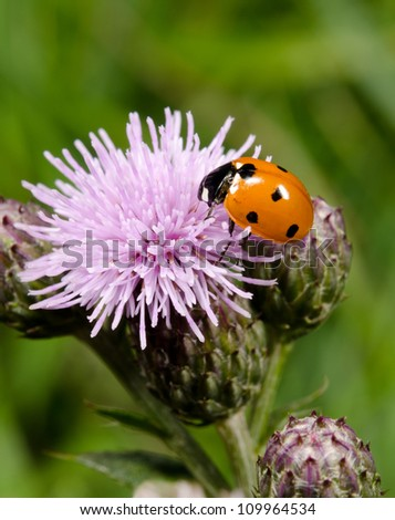seven spotted ladybird on thistle - stock photo