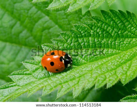 seven spotted ladybird portrait on stinging nettle from above - stock photo