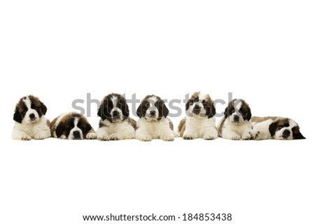 Seven St Bernard Puppies laid in a line isolated on a white background