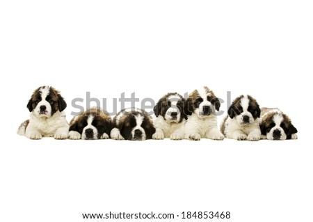 Seven St Bernard Puppies laid in a line isolated on a white background - stock photo