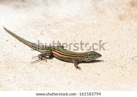 Seven Stripe Whiptail rests  on the sand - stock photo