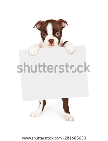seven week old Boston Terrier puppy - stock photo