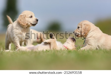 Seven week old golden retriever puppies outdoors on a sunny day. - stock photo