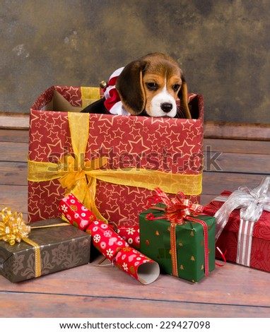 Seven weeks old adorable little beagle puppy in a christmas gift - stock photo