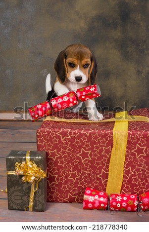 Seven weeks old adorable little beagle puppy stealing a christmas gift - stock photo