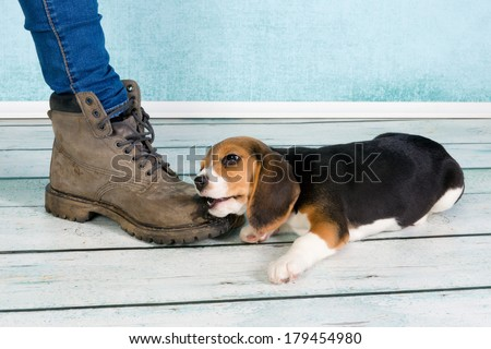 Seven weeks old cute little beagle puppy chewing on some one's foot - stock photo
