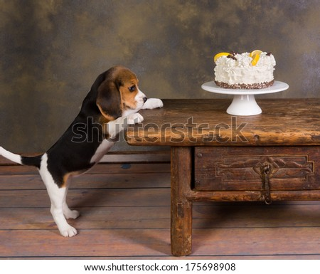Seven weeks old cute little beagle puppy watching a delicious frosted cake - stock photo