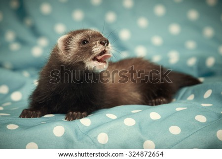 Seven weeks old ferret baby boy - stock photo