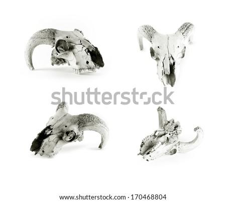 Several animal skulls isolated on white background - stock photo