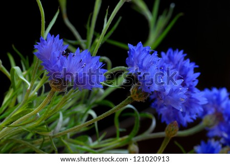 several beautiful blue cornflowers over black background