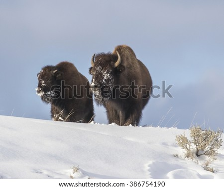 Several bison were found wandering near Kelly Wyoming.  On a low ridge. - stock photo