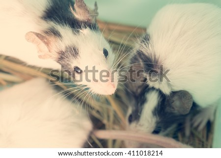 Several black and white domestic rats in the straw. Toned - stock photo