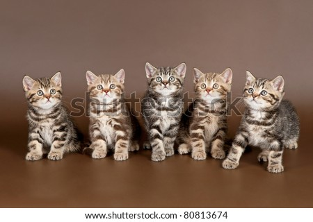 Several british kittens on brown background
