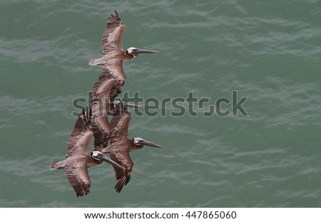 Several Brown Pelicans on flight - stock photo