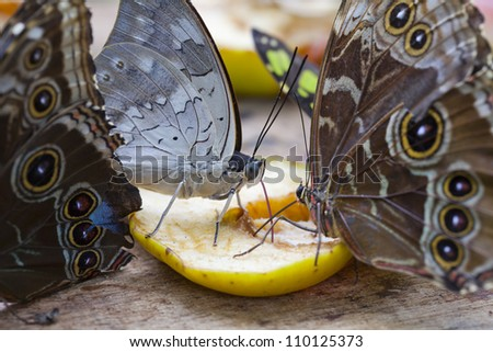 Several butterflies feeding on nectar of fruit