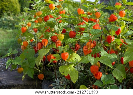 Several Chinese lantern flower (Physalis alkekengi) in August after a rain shower - stock photo