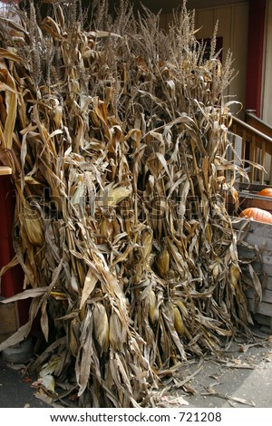 Several Corn Stalks By a Store Front - stock photo