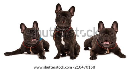 Several dogs breed french bulldog on white background. Isolated on white dogs in separate racks and regulations. Bulldogs lie, sit, look to the top. Concept advertising for animal nutrition and dogs. - stock photo