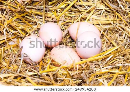 Several domestic chicken eggs in the hay. Closeup. - stock photo