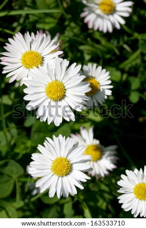 Several flowering daisies (Bellis perennis)
