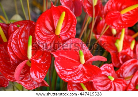 Several flowers of Anthurium Spice shot