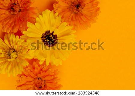 Several fresh medicinal calendula or marigold flowers arranged on orange background with copy space - stock photo
