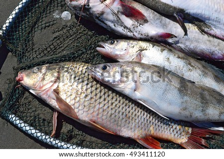 Several fresh river caught fish lies in the cage. Fishing