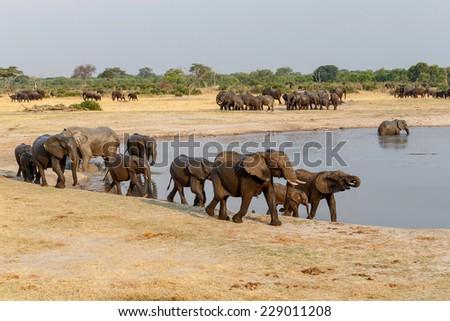several heard of African elephants at waterhole Hwange national park, Matabeleland, North Zimbabwe. True wildlife photography - stock photo